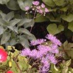 Thalictrum aquilegiifolium 'Purpureum'