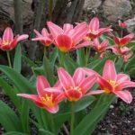 Tulipa 'Rainbow'