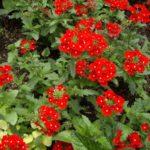 Verbena 'Rowersum Malice Red Eye'