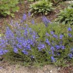 Veronica prostata 'Blue Sheen'