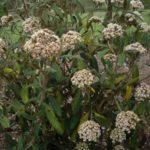 Viburnum rhytidophyllum 'Holland'