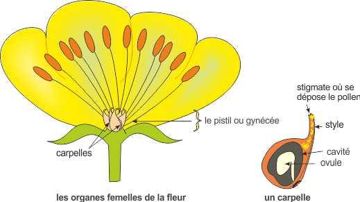 les organes femelles de la fleur